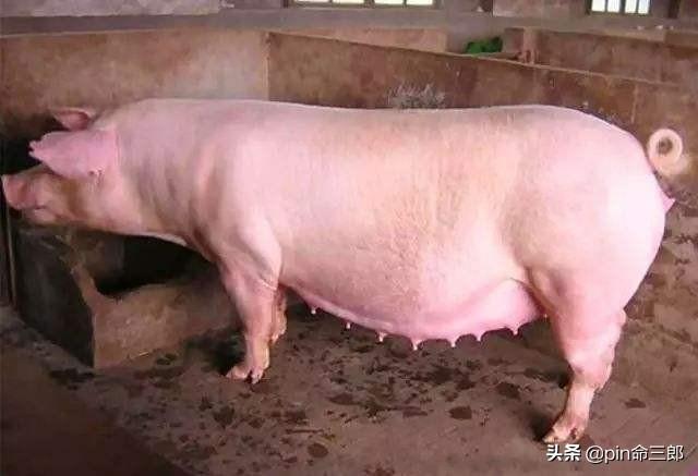 第一,第二窝猪都好,为什么第三窝猪出现死胎木乃伊?