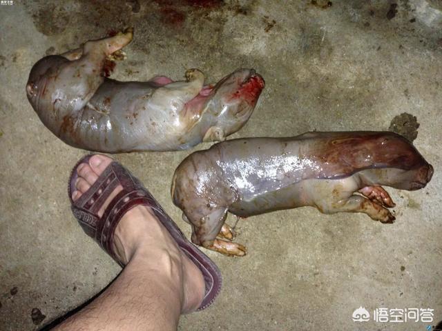 母猪下的死小猪还发黑是什么病?