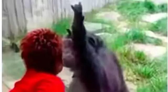 比利时女子声称爱上黑猩猩,人和猩猩在一起,到底能否生育后代?